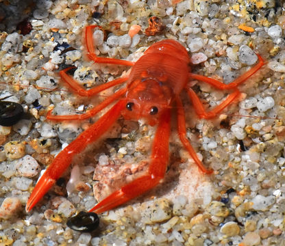 Image of Red Crab
