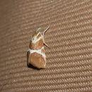 Image of <i>Jativa castanealis</i> Hulst