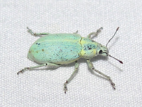 Image of Blue-green citrus weevil