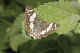 Image of <i>Heliopyrgus <i>domicella</i></i> ssp. domicella