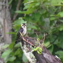 Image of Collared falconet