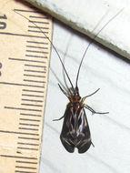 Image of <i>Phylloicus aeneus</i> (Hagen 1861)