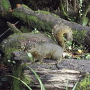 Image of Alfaro's Pygmy Squirrel