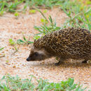 Image of South African Hedgehog