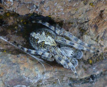 Image of <i>Aculepeira carbonaria</i> (L. Koch 1869)