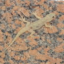Image of Yellow-bellied house gecko