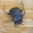 Image of Humpback Dung Beetle