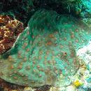 Image of Brown plating hard coral