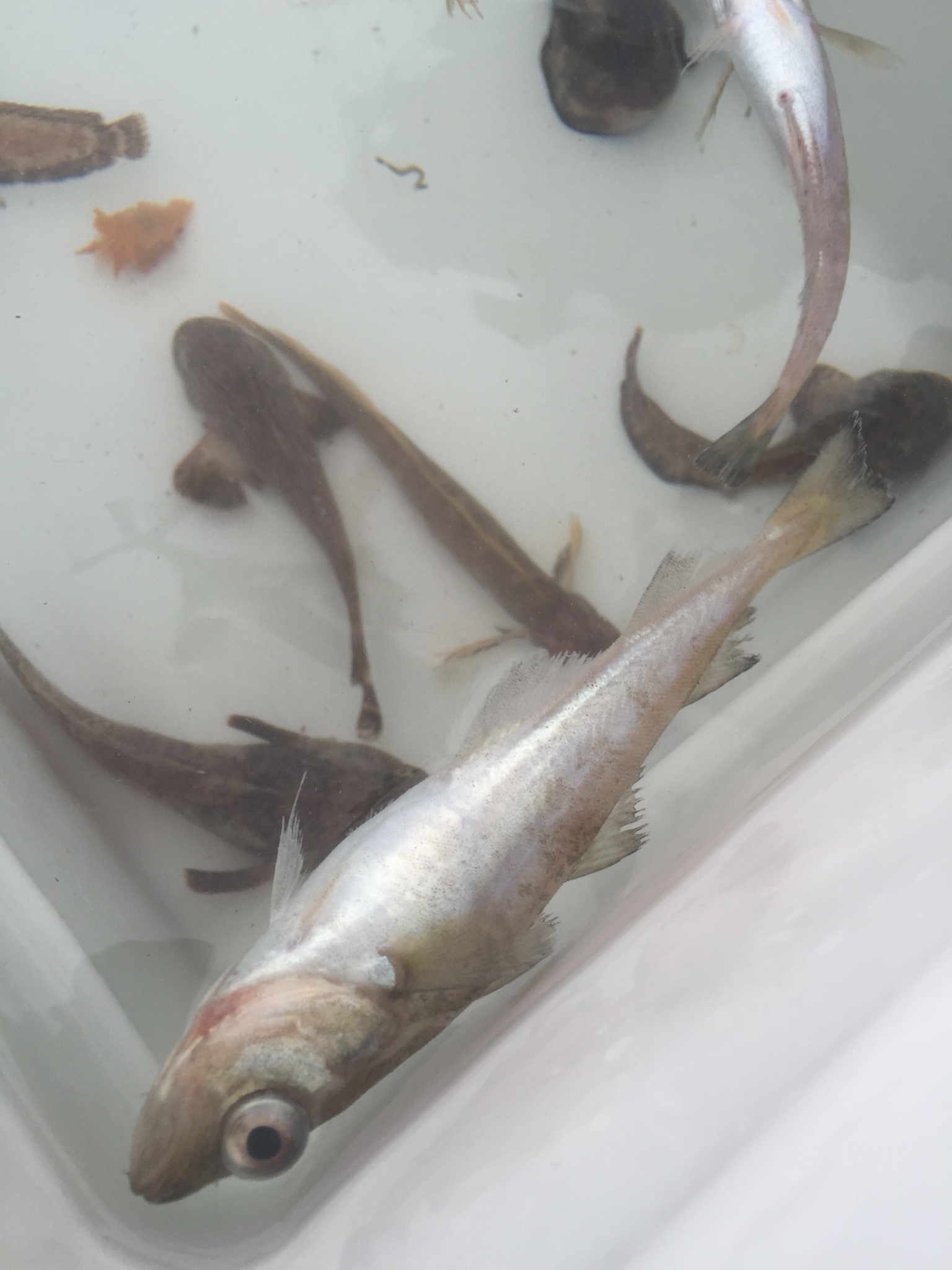 Image of Pacific tomcod