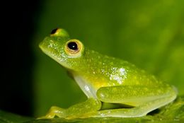 Image of Fleischmann's Glass Frog