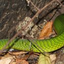 Image of Common mamba