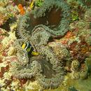 Image of Adhesive sea anemone
