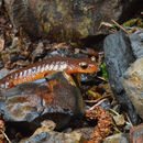 Image of Columbia Torrent Salamander
