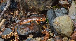 Image of Columbia Torrent Salamander