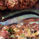 Image of Striped Goby