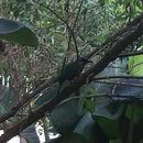 Image of Trinidad Motmot