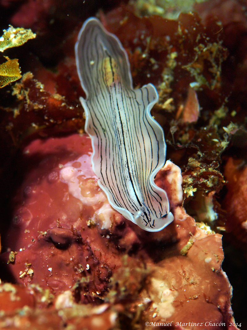 Image of candy striped flatworm