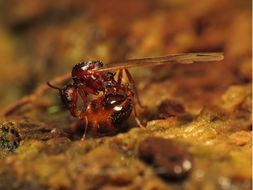 Image of <i>Aphaenogaster fulva</i> Roger 1863