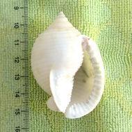 Image of Mediterranean Bonnet