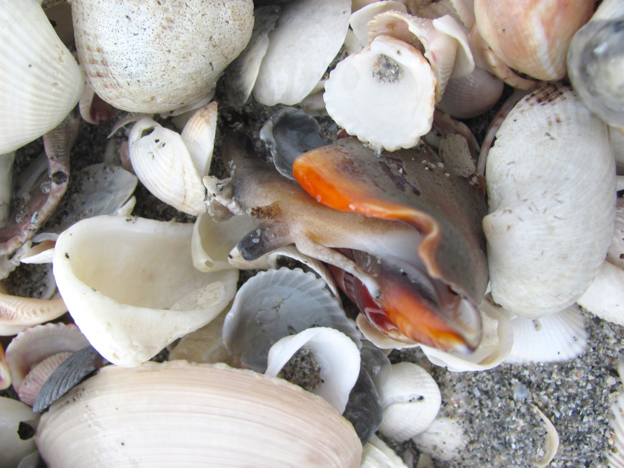 Image of Florida fighting conch