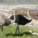 Image of African ostrich