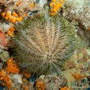 Image of <i>Echinus melo</i> Lamarck 1816