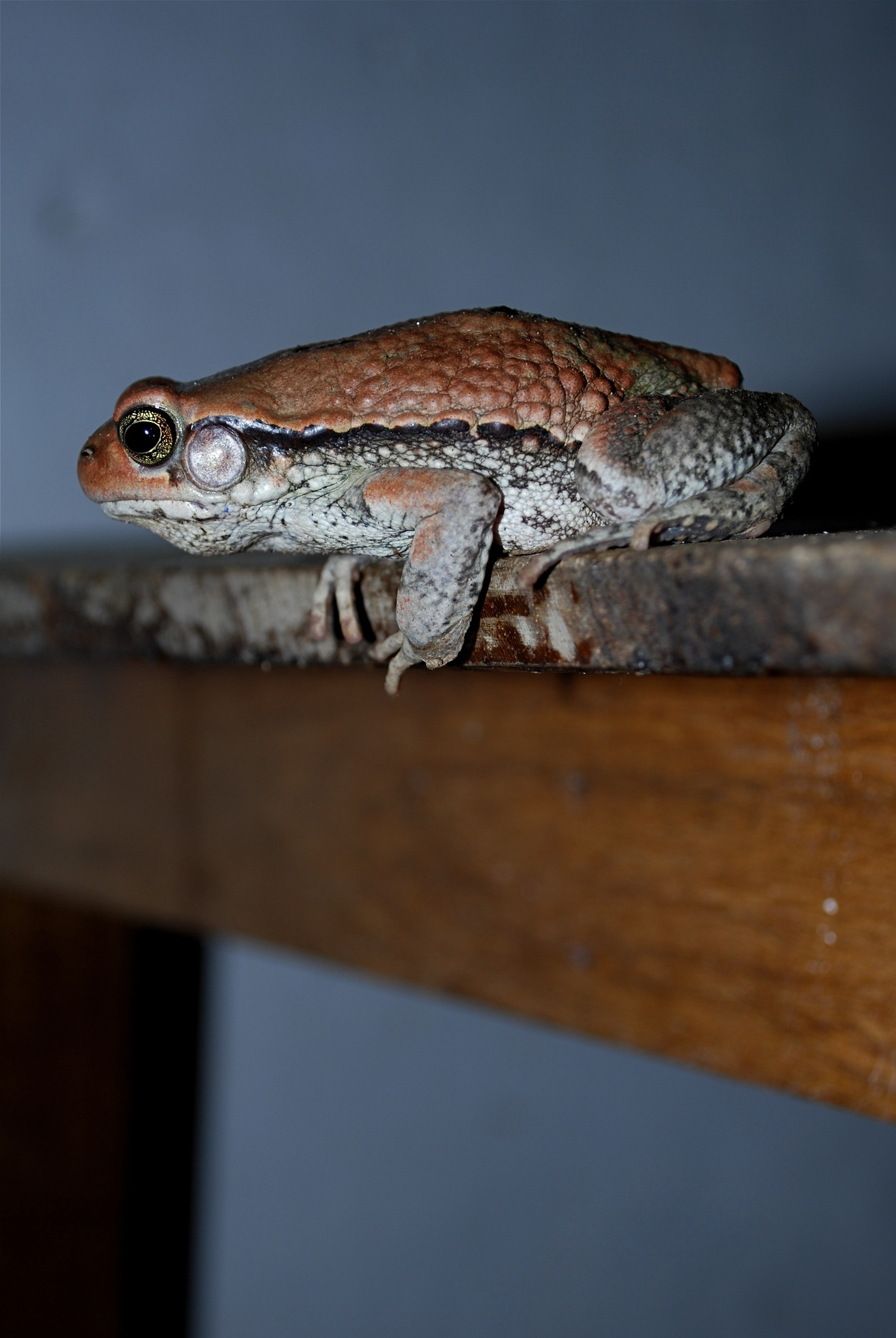 Image of Red Toad
