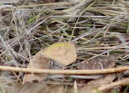 Image of <i>Eurema daira</i> ssp. <i>sidonia</i> (R. Felder 1869)