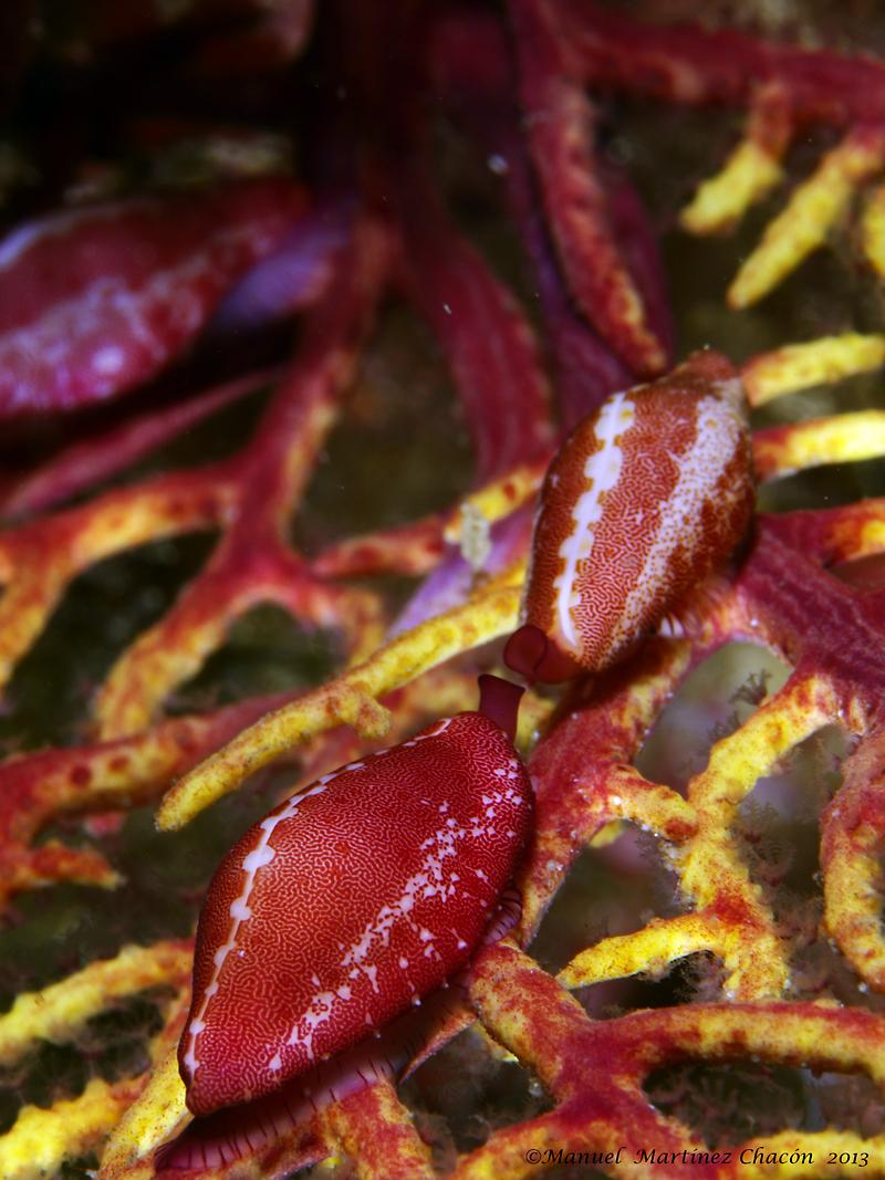 Image of Mediterranean ovulid