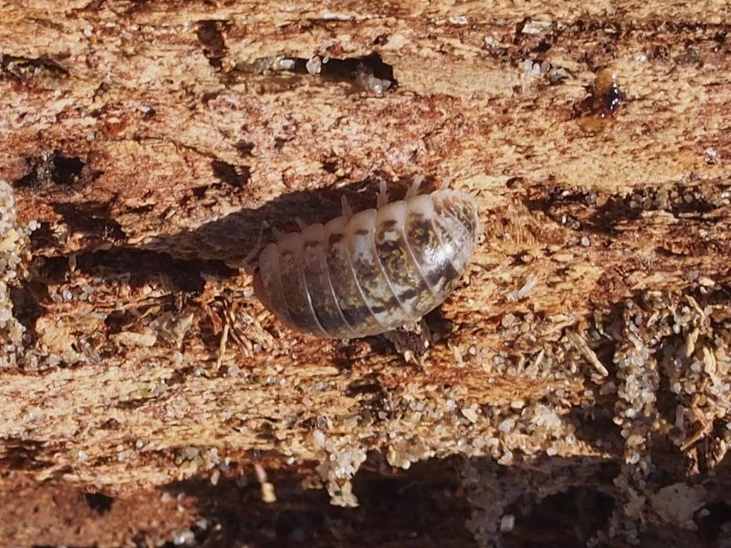 Image of <i>Alloniscus perconvexus</i> Dana 1856