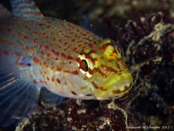 Image of Golden Goby