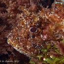 Image of Black Scorpion-fish