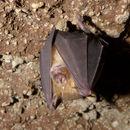 Image of Arabian Horseshoe Bat