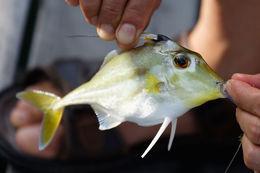 Image of Black-flag tripodfish
