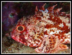 Image of Red Scorpionfish