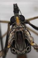 Image of <i>Tipula</i> (<i>Nippotipula</i>) <i>abdominalis</i> (Say 1823)
