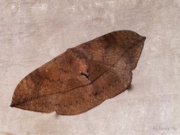 Image of <i>Ganisa pandya</i> Moore 1865