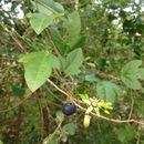 Image of <i>Passiflora suberosa</i>