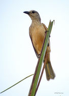 Image of fawn-breasted bowerbird