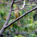 Image of Yellow-breasted Bowerbird