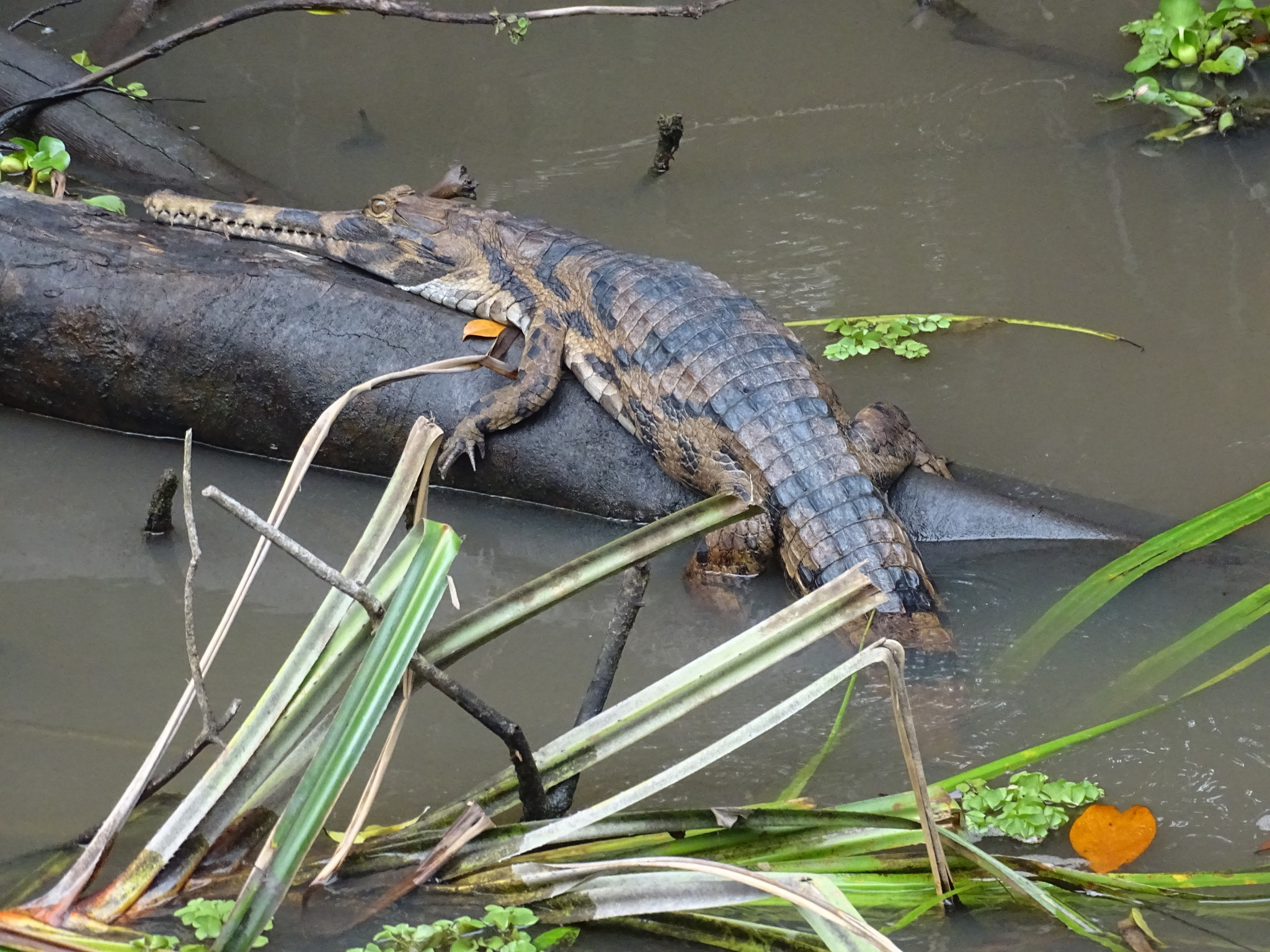 Image of False Gharial
