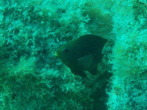 Image of Cortez damselfish