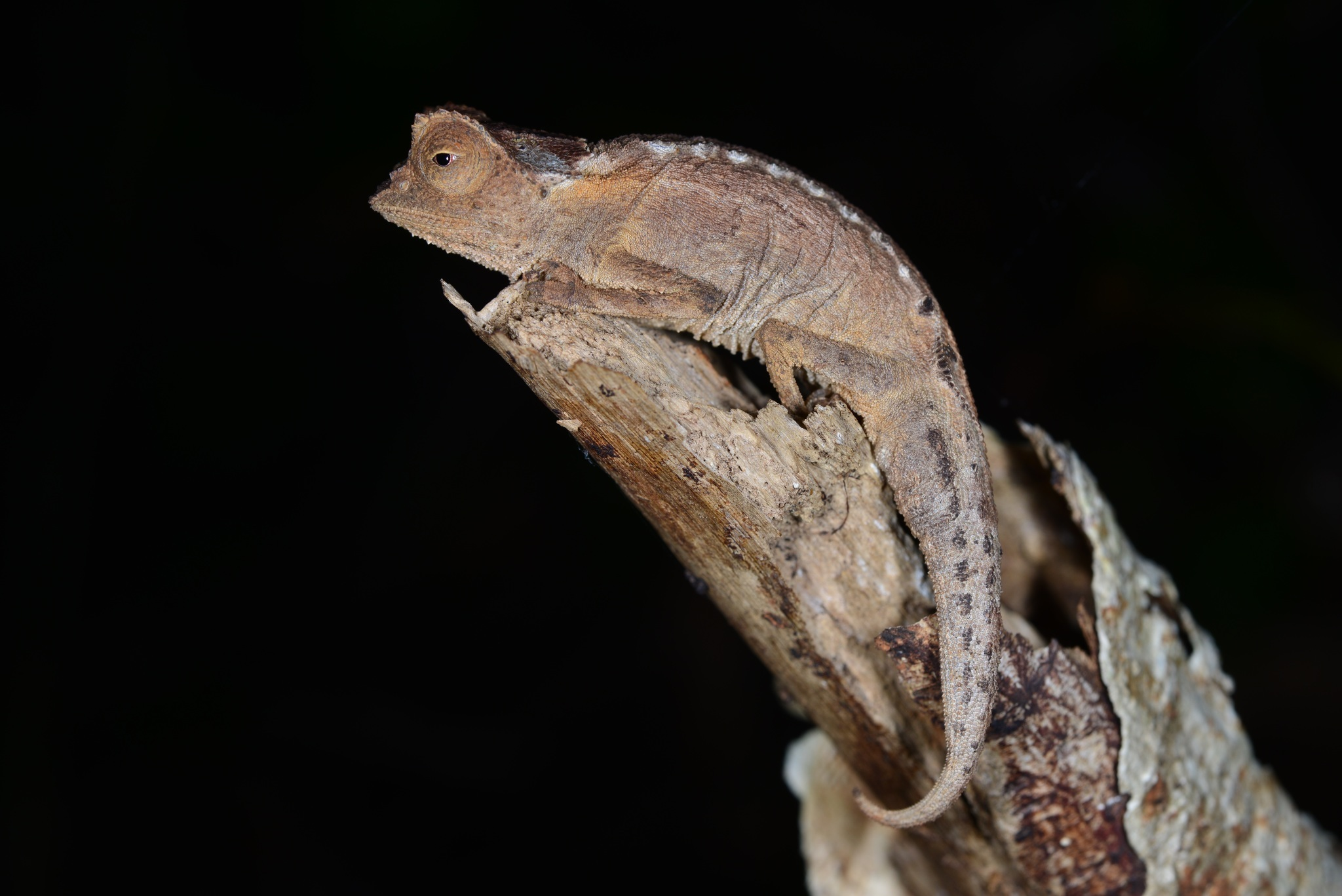 Image of Plated Leaf Chameleon