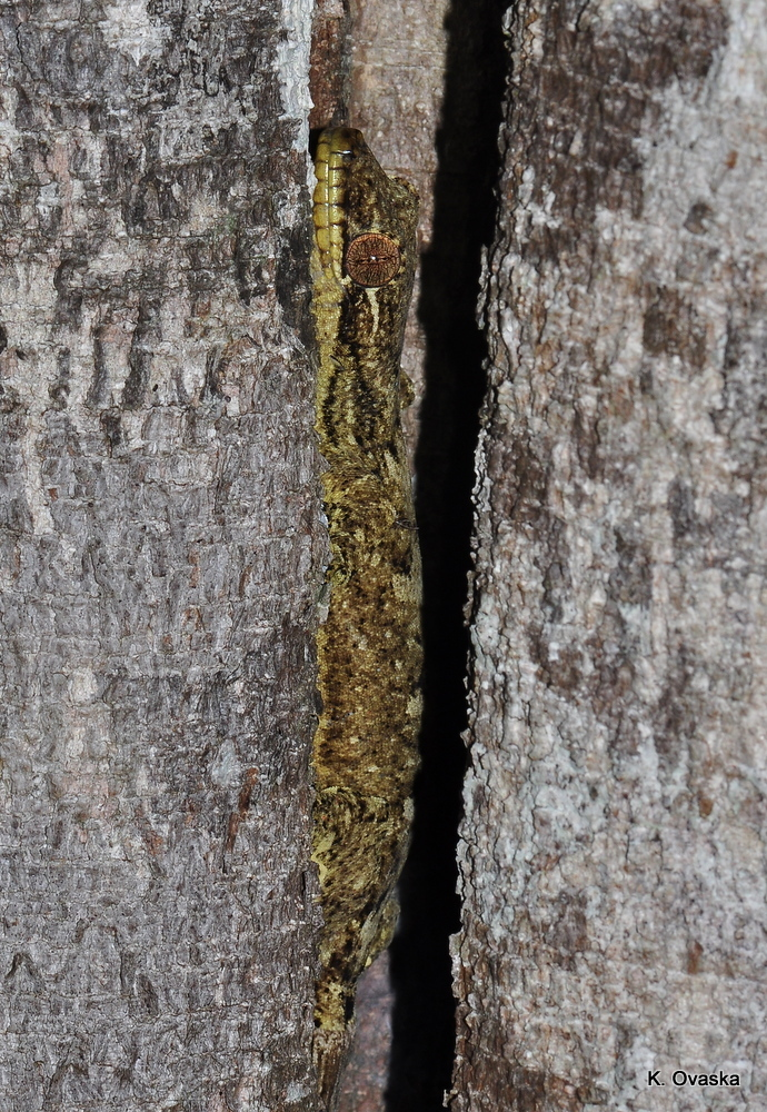 Image of <i>Thecadactylus solimoensis</i> Bergmann & Russell 2007