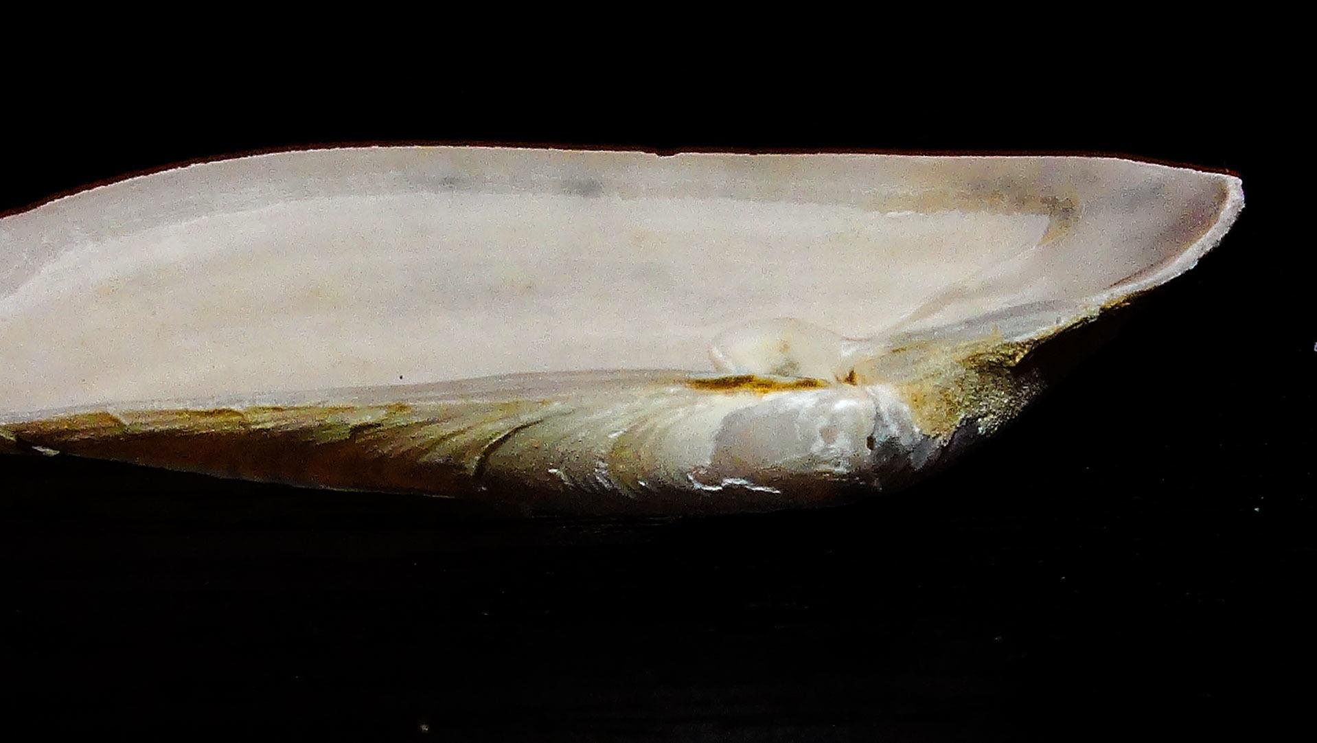 Image of <i>Periploma planiusculum</i> G. B. Sowerby I 1834