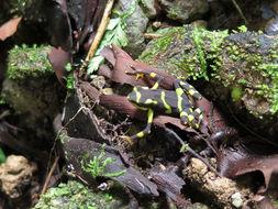 Image of Pirre Harlequin Frog