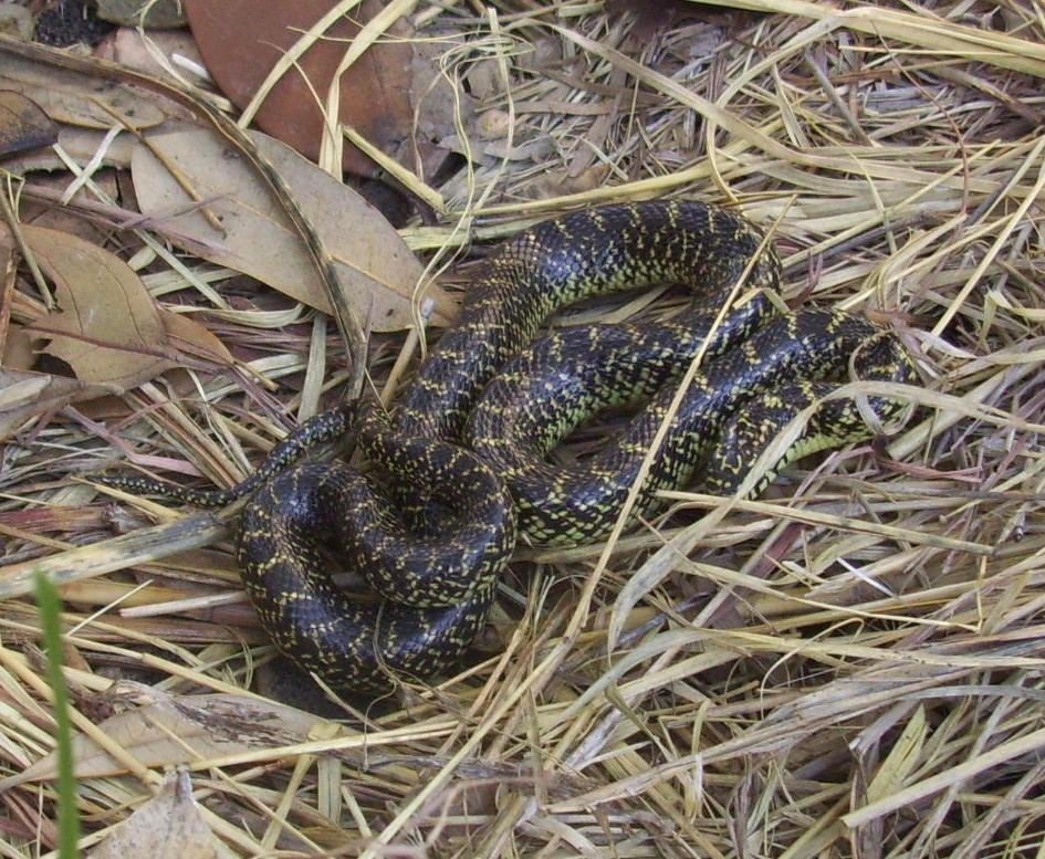 Image of Speckled Kingsnake