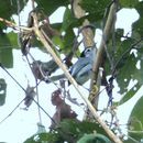 Image of Tropical Gnatcatcher