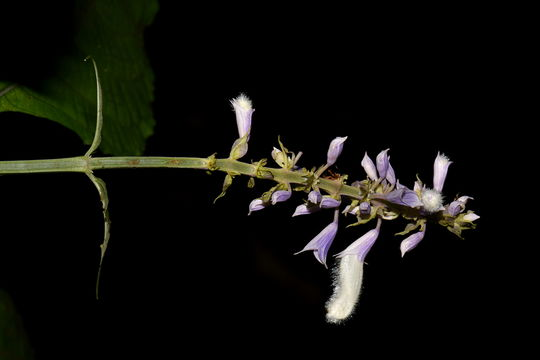 Image of <i>Salvia divinorum</i>