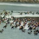 Image of Mandarin Duck
